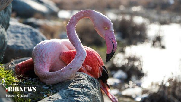 گزارش دامپزشکی درباره مرگ پرندگان در میانکاله: «بوتولیسم» مقصر است